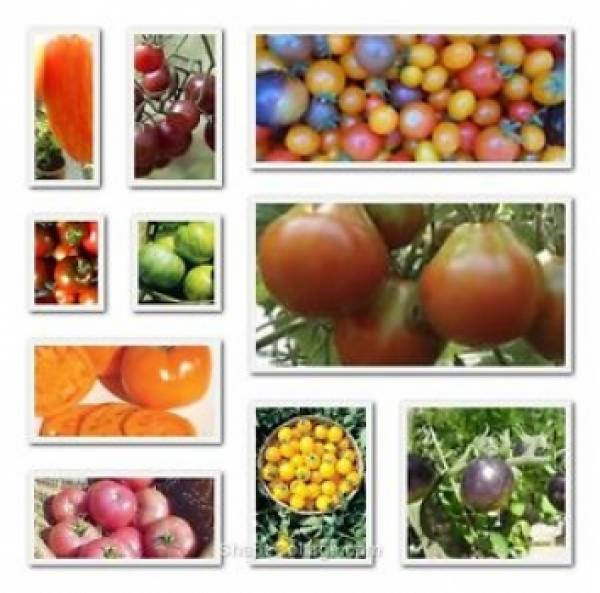 Historic Hungarian tomato varieties in set: 10 certain varieties 100 seeds, organic, BIO hu-öko-01