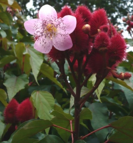 Bixa Orellana, Lipstick tree, used for dyeing beautiful, 15 seeds