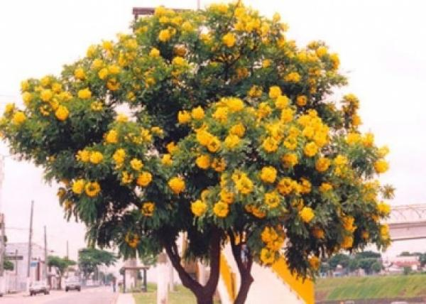 Cassia leptophylla, Gold Medallion Tree, 10 seeds