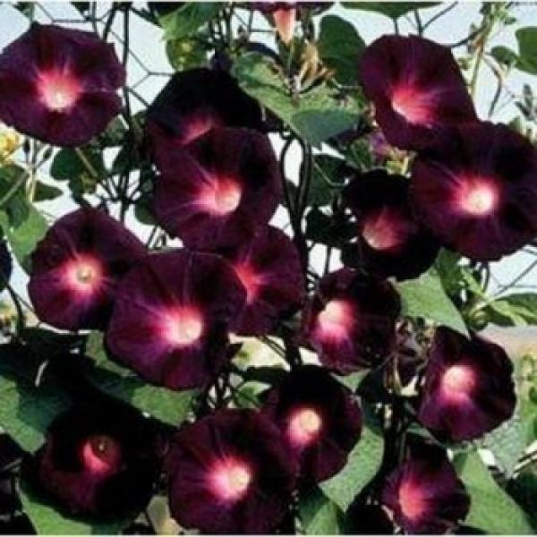 ipomoea knowlians, black ipomoea, 10 seeds
