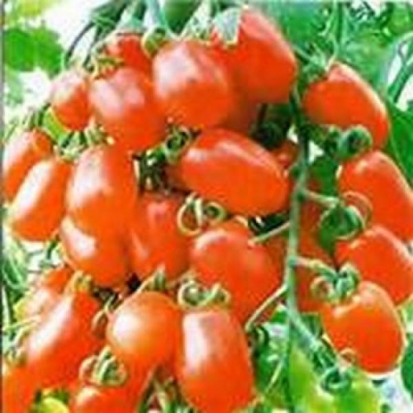 "Hungarian Tomato ""Long Red"", high yield and organic"