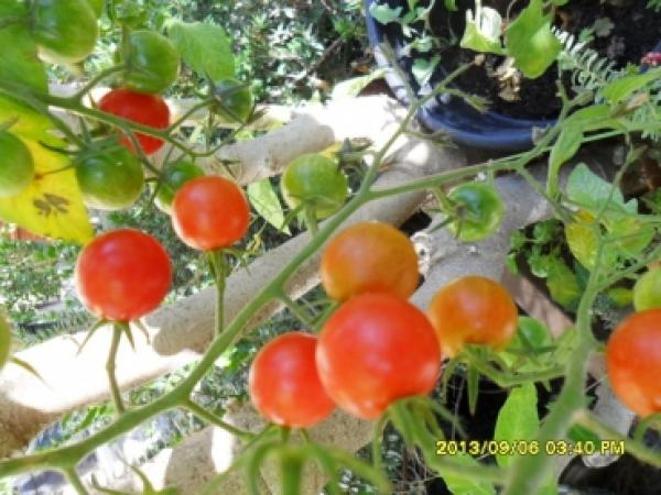 "Hungarian Tomato ""starter"", many red cherry tomatos"
