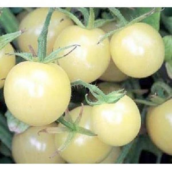 "Hungarian Tomato ""White Cherry Cocktail"", high yield and organic"